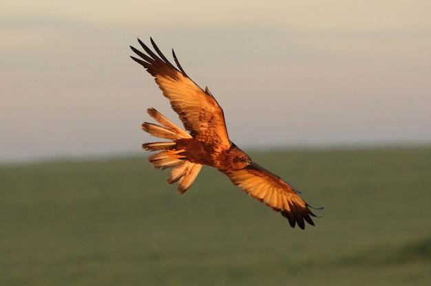 寒い冬の日に夜明けの最初の光で飛んでいるヨーロッパチュウヒの成人男性