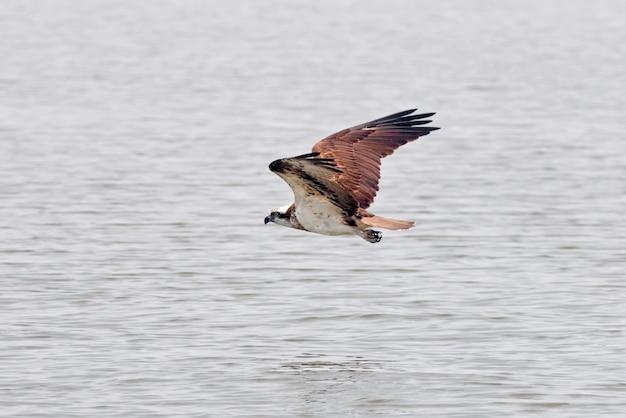 西オスプレイパンディオンhaliaetus水の上を飛んでタイの美しい鳥