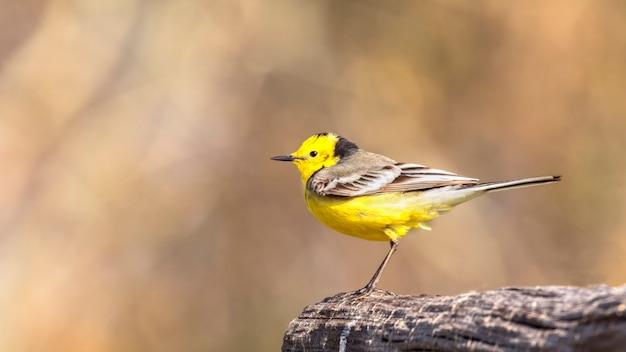 Западная желтая трясогузка, маленькая желтая птица с серыми, черными и белыми перьями и ярко-желтым животом.