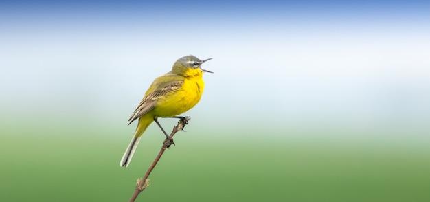 Западная желтая трясогузка, небольшая желтая птица с серыми, черными и белыми перьями и ярко-желтым животом.