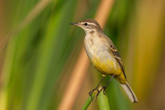 Western yellow wagtail-motacilla flava, a beautiful yellow bird.