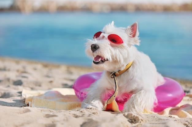 Westie на песчаном пляже, глядя на копию пространство