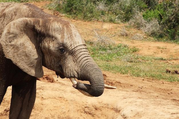 ジャングルの水たまりで遊んでいる湿った泥だらけの象
