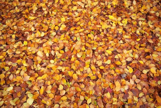 地面に濡れた紅葉