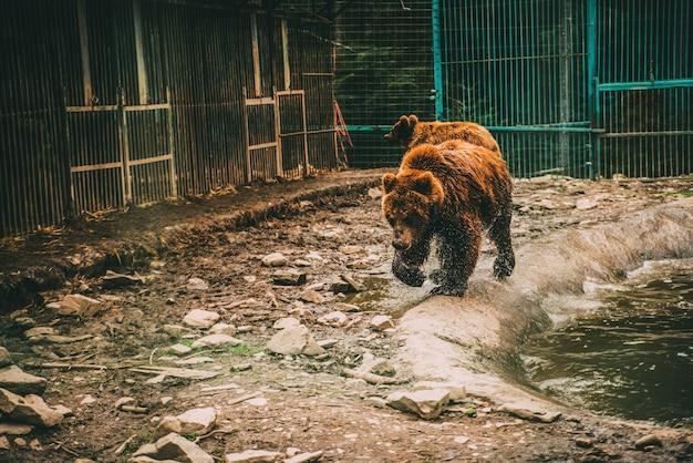 Мокрый медведь в воде в клетке
