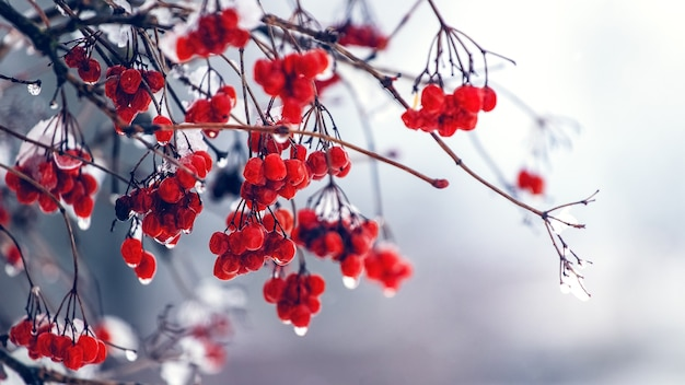 Wet berries of viburnum in winter during the thaw