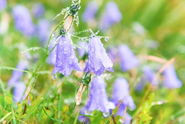 緑の野原に水滴が付いた濡れた青い花のブルーベル。マクロ撮影