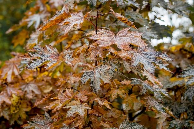 秋の雨の日にカエデの若い木に濡れた茶色の葉