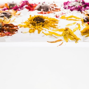 Wet colorful daisies over white background