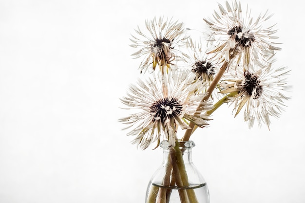 Wet dandelions in a vase on a white background