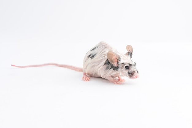 Мокрая декоративная мышь на светлом фоне