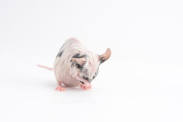 Мокрая декоративная мышь, вымытая на светлом фоне