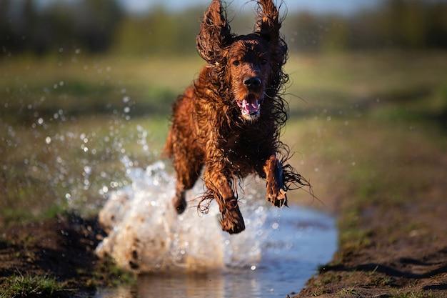 緑の野原に水しぶきで泥だらけの水たまりにジャンプする濡れた汚いアイリッシュセッター犬