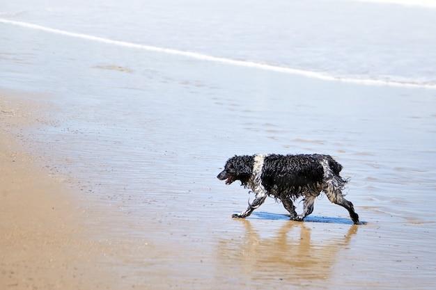 Мокрая собака гуляет по песчаному пляжу на фоне морской волны