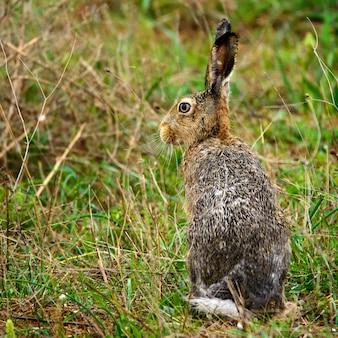 湿ったヨーロッパのノウサギが草の上に立っています(lepuseuropaeus)。