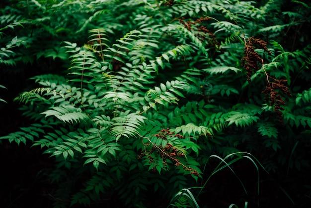 Влажные зеленые листья и красноватые почки рябины сорбифолии. предпосылка природы с молодым крупным планом schizonotus. свежая яркая зелень с копией пространства. красивые веточки с ярко-зелеными листьями с росой.