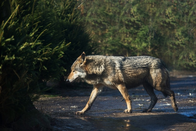 Wet grey wolf in the forest after the rain