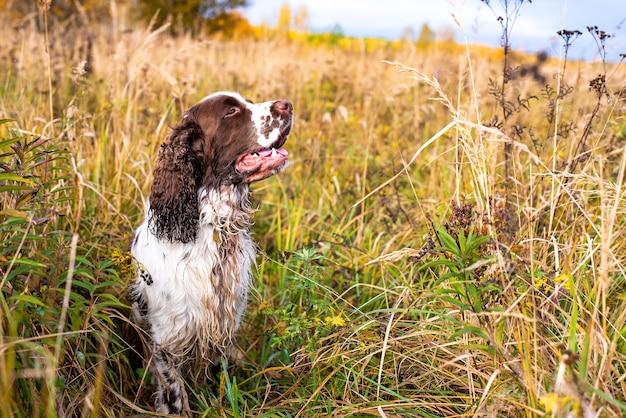 The wet gun dog sits in the wild grass autumn field. Premium Photo