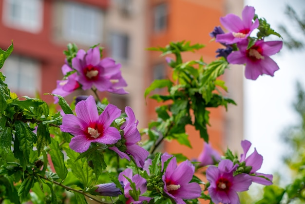 Мокрые цветы гибискуса после дождя