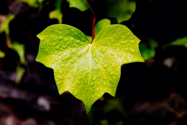 Wet ivy leaf close up with rain drops