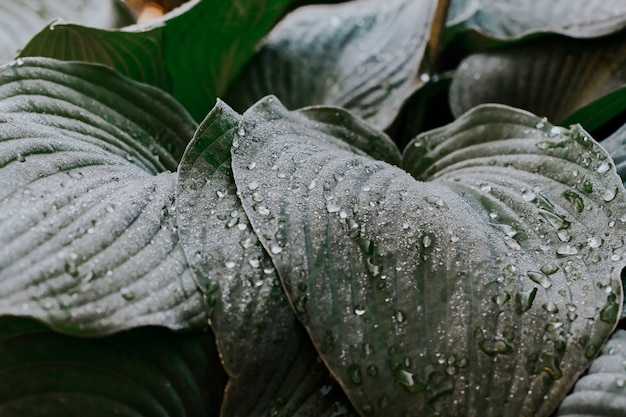Wet leaves of the blue host after the rain