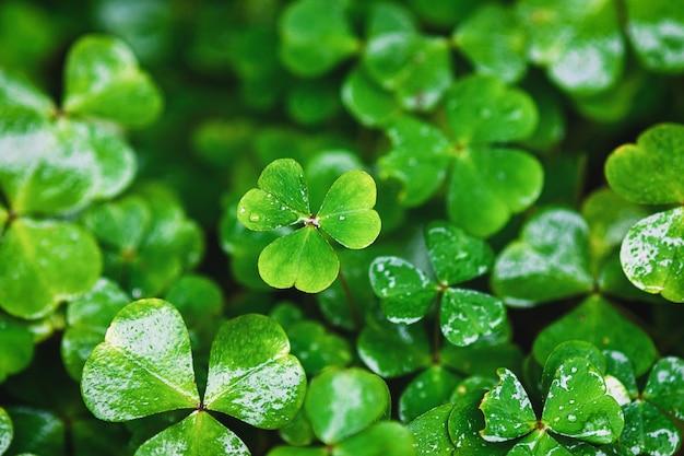 緑のクローバー、春の植物の背景の濡れた葉