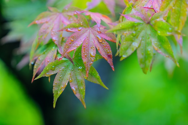 Wet maple leaves background in green and red