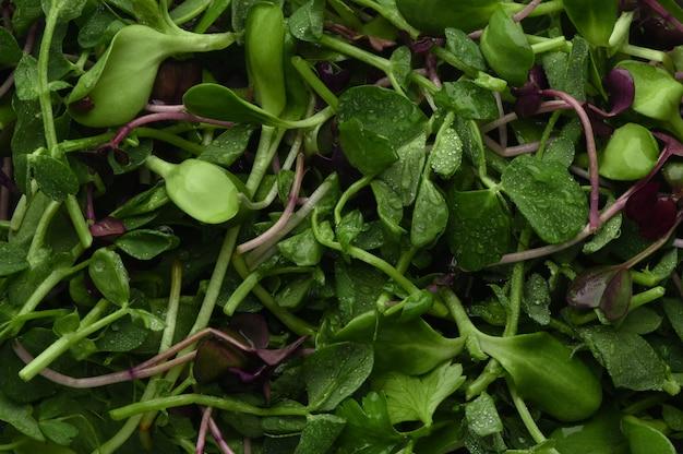 Влажный микрогрин крупным планом. здоровая пища. доморощенные продукты. натуральный витаминный заряд. зелень фон. здоровая натуральная пища для карантинной изоляции в домашних условиях.