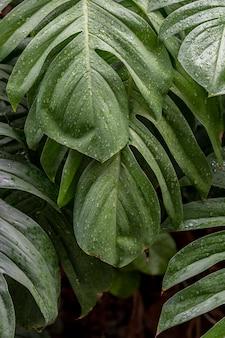 Foglie di piante bagnate di monstera deliciosa in un giardino