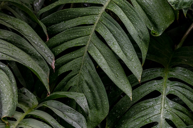 Wet monstera deliciosa plant leaves in a garden