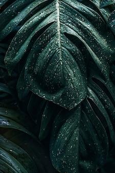 젖은 monstera deliciosa 식물은 정원에 나뭇잎