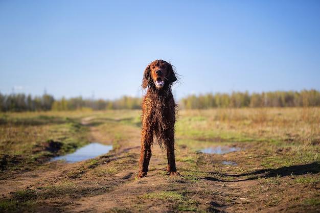 狩猟や訓練中に野原に立っている口を開けた濡れた泥だらけのアイリッシュレッドセッター犬