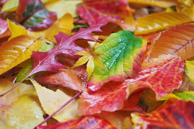 Wet multicolored autumn leaves background