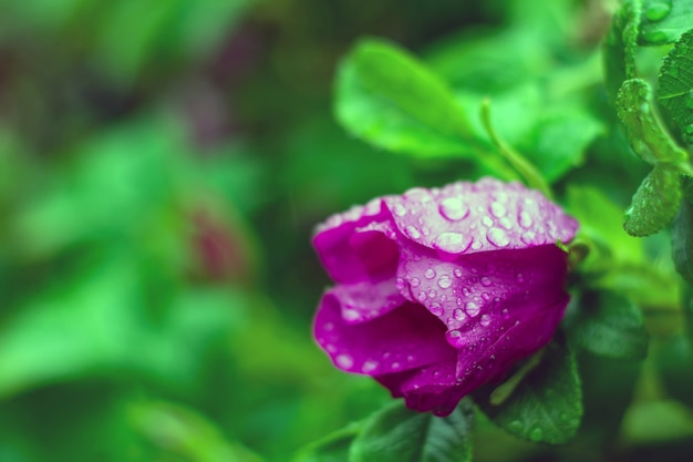 Wet pink rose buds in the rain