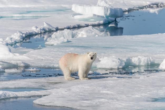 Мокрый белый медведь идет на паковый лед в арктическом море