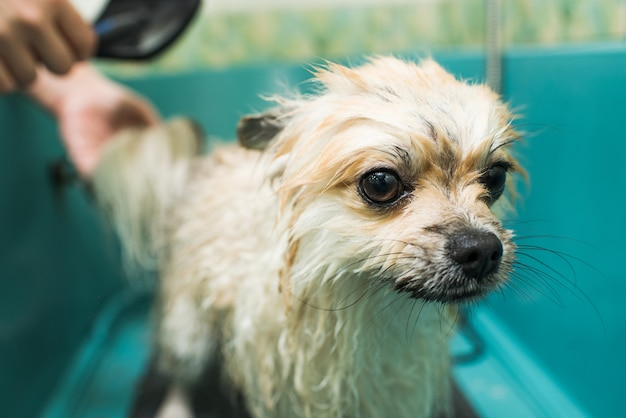 A wet pomeranian is standing in the bathroom. small, clean pet.