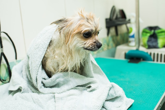 Wet pomeranian spitz wrapped in a towel and sitting. pet after bathing