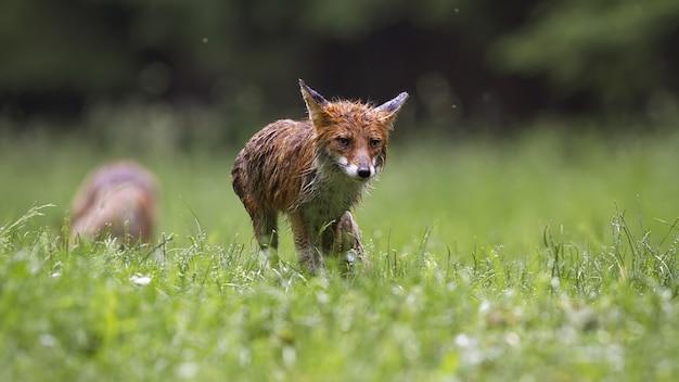 Мокрая рыжая лиса гуляет по лугам в дождливой летней природе