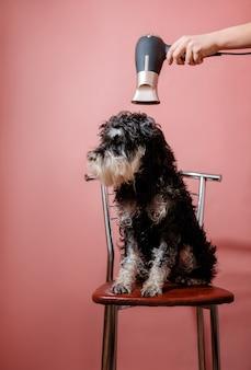 Мокрая собака шнауцер сидит на стуле на розовой женской руке с феном, хозяин сушит собаку