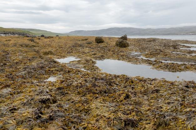 Wet seaweed kelp surface close up at low tide