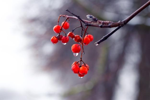 Влажный куст калины с красными ягодами поздней осени на размытом фоне