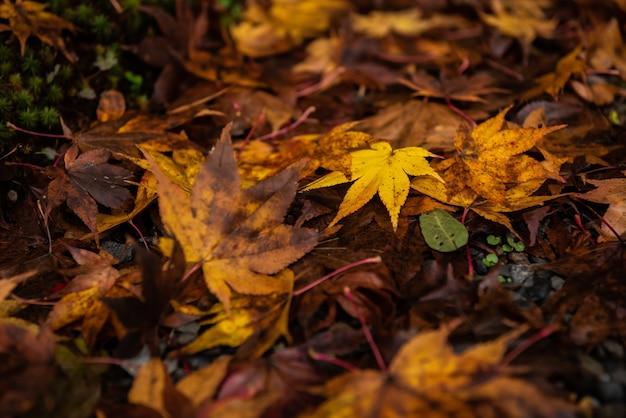 땅에 마른 잎으로 둘러싸인 젖은 노란 일본 단풍나무 잎.