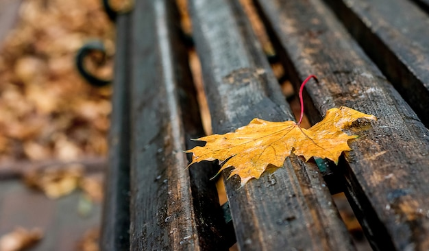 Wet yellow maple leaf on bench in the park. a rainy autumn day creates a sad mood