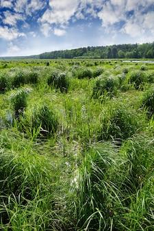 Заболоченное поле с высокой травой, вдалеке лес и красивое голубое небо.