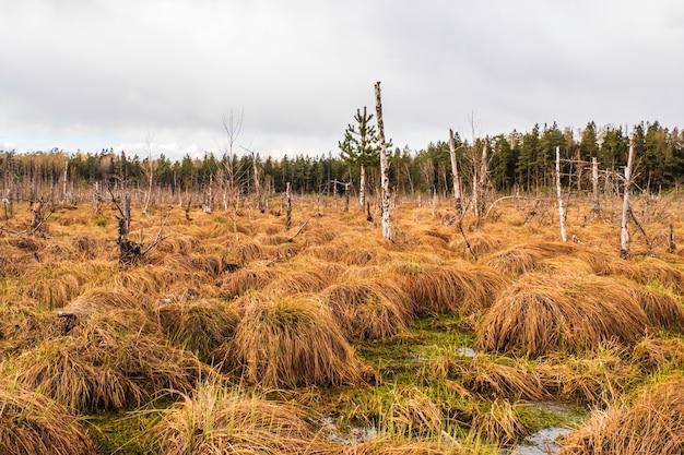 Болото болото с небольшими прудами и соснами.