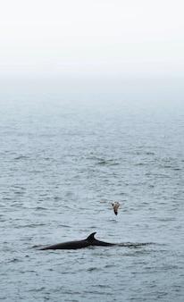 Whale in the atlantic ocean, iceland
