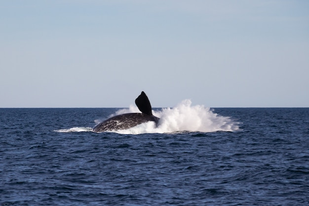 Whale jumping.