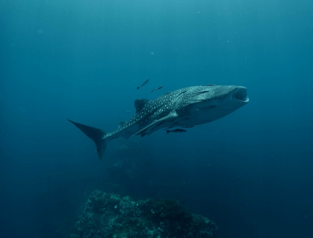 タイのジンベイザメ