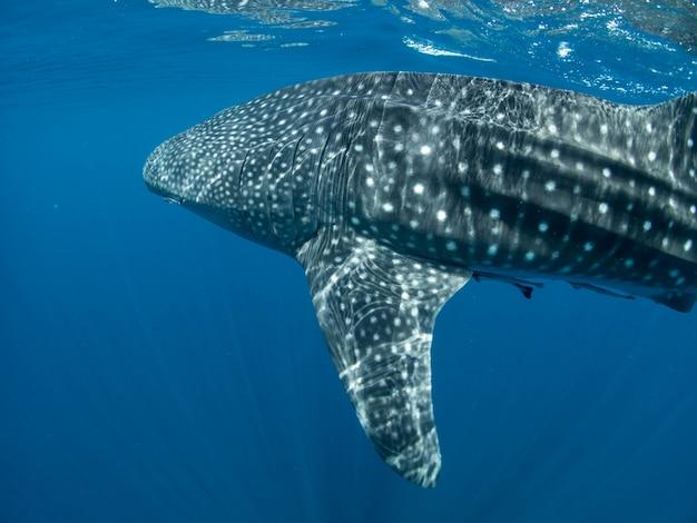 Whale shark on the surface