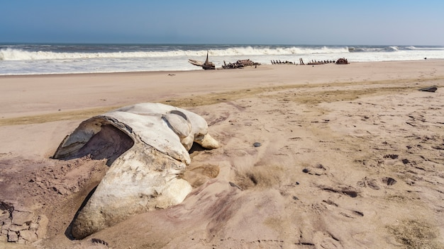 A whale skull near a shipwreck in the skeleton coast in namibia in africa.
